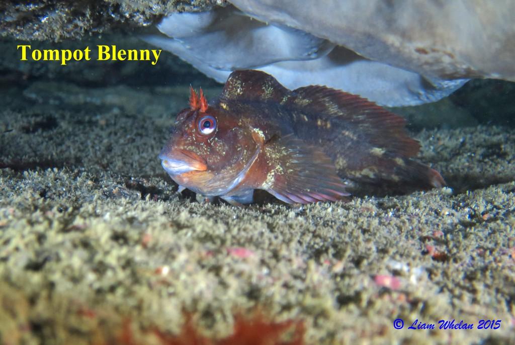 Tompot Blenny