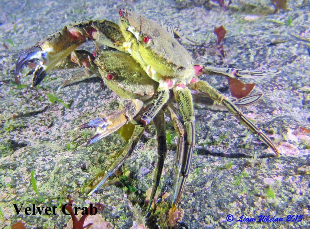 Velvet Crab