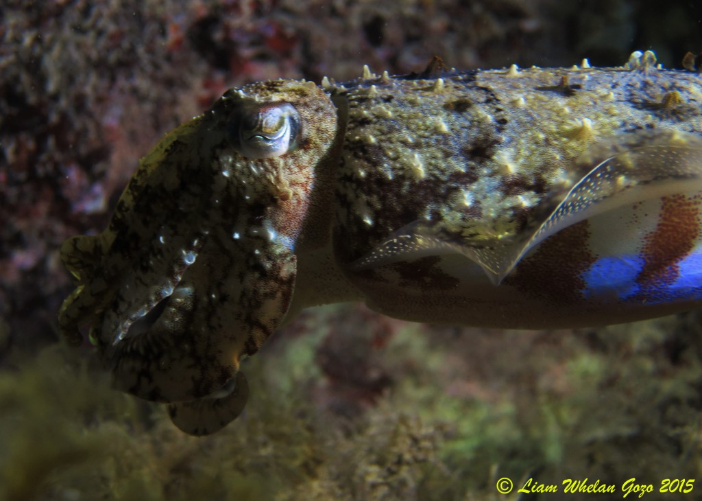 Cuttle Fish (1)