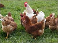 castlefarm-hens