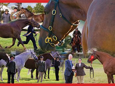 Irish Draught Horse National Breed Show