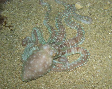 Octopus(s).jpg
